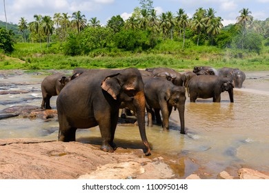 Asian elephant in Pinnawala Orphanage,  Wilpattu National Park, Sri Lanka