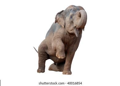 asian elephant raise a leg isolated on white