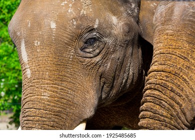 Asian elephant, its scientific name is Elephas maximus