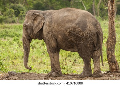 Asian elephant tied to a chain. Green grass background