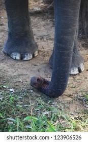 asian elephant trunk detail