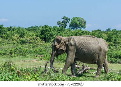 Asian elephant in Udawalawe National Park in Sri Lanka