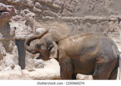 An Asian elephant using its trunk to fling dirt all over its back in an arid desert environment