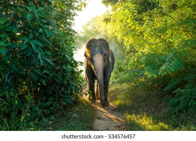 Asian elephant walking from the forest.Actually elephant in asian smaller than elephant from african.Elephants have been revered for centuries in Asia, playing an important role.