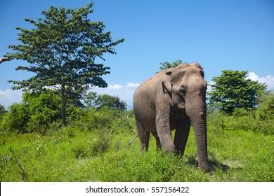 Asian elephant walking on the grass among green trees on Sri Lanka island.