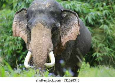 Asian Elephant In the wild, Thailand