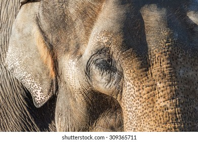 Asian elephant in your face. A close-up view of the face of an Asian elephant clearly showing the texture of its skin.