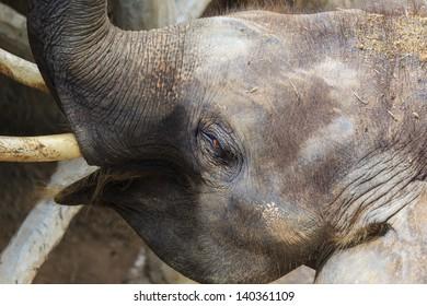 Asian elephants.