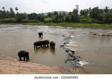 Asian elephants bathing in the river of Pinnawala in Sri Lanka