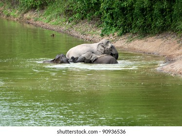 Asian elephants bathing in the tropical forest