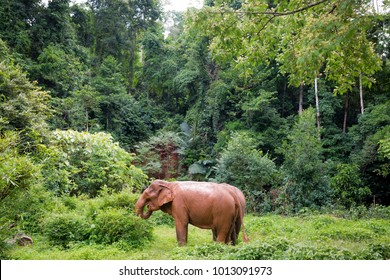 Asian Elephants in a Cambodian jungle