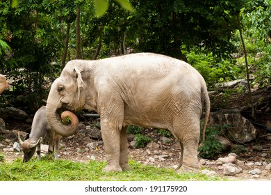 Asian elephants are eating grass