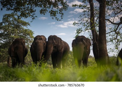 Asian Elephants in forest, Thailand.