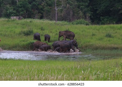 asian elephants in nature ,Khaoyai national park,Thailand