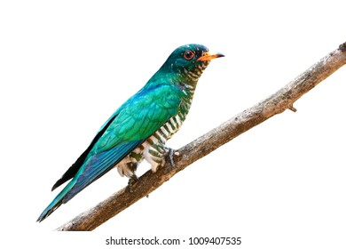 Asian Emerald Cuckoo Chrysococcyx Maculatus Beautiful Velvet Green Bird Perching On Branch Showing It