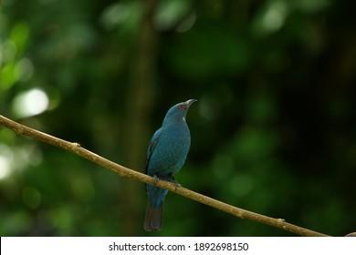 Asiatischer Fairy-Bluebird in der Natur