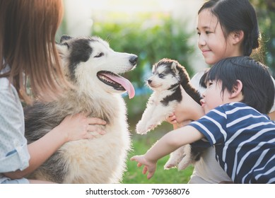 Asian family playing with siberian husky dog together