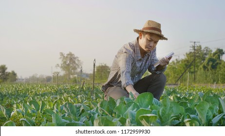 Asian farmer examining plant leaf fresh vegetables in organic farm