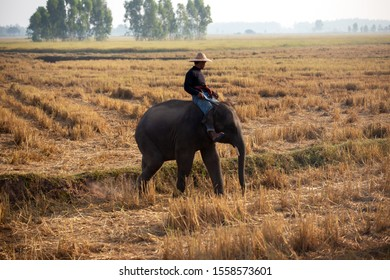 Asian farmer are harvest in the rice field with elephant,farmer rice in field sunrise sky background.