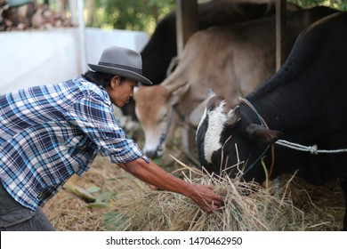 asian farmer holding field for eating cow. yogyakata indonesia. august 5, 2019.