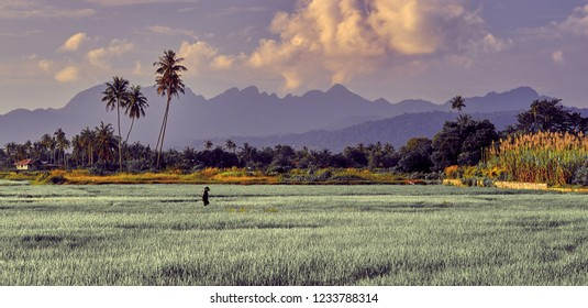 Asian farmer make rice transplanting, hard working, rice plant growing, paddy field, traditional asian rice transplanting. Langkawi, Malaysia.