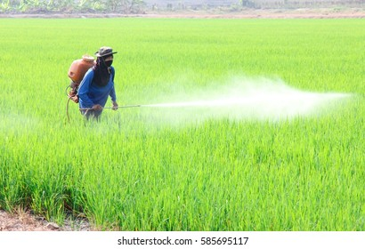 Asian farmer spraying insecticide in the field
