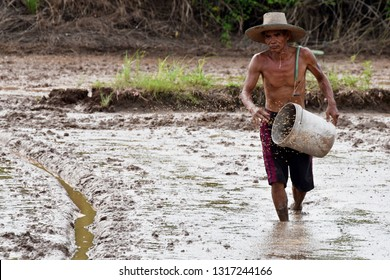 asian farmer throwing rice seed by hand on wet mud in rice field