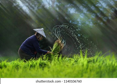 Asian farmer transplant rice seedlings in rice field,Farmer planting rice in the rainy season,Asian farmer is withdrawn seedling and kick soil flick of Before the grown in paddy field,Thailand,