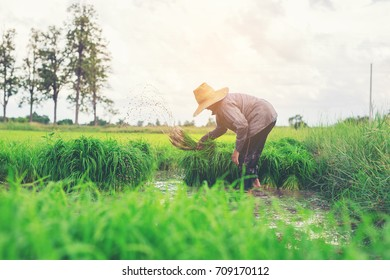 Asian farmer transplant rice seedlings in rice field,Asian farmer is withdraw seedling and kick soil flick of Before the grown in paddy field.