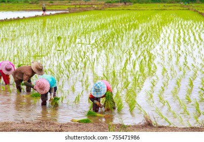 Asian farmer transplant rice seedlings in rice field. Farmer planting of the rice season, be prepared for planting.