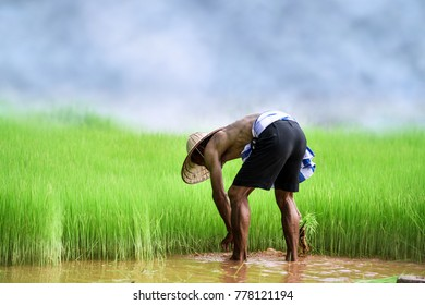 Asian farmer transplant rice seedlings in rice field,Farmer planting rice in the rainy season,farmer in paddy field,Thailand.