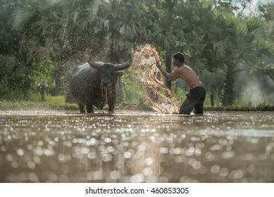 asian farmer washing buffalo in farm