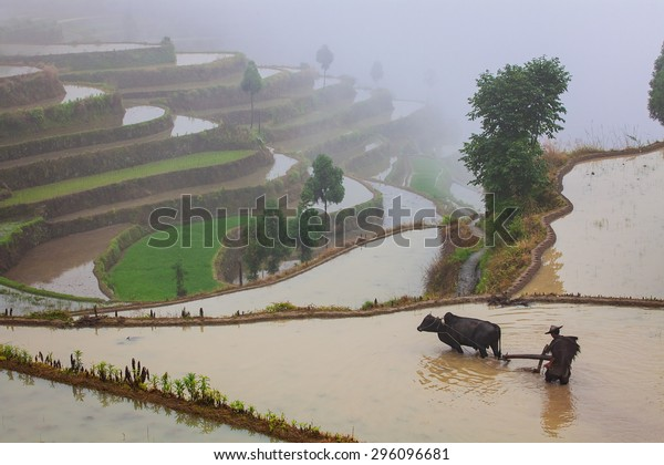 Asian farmer working with his buffalo on terraced rice field in China