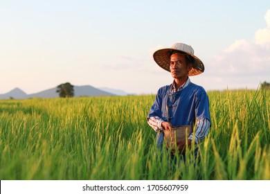 Asian farmer working on rice field applying fertilizer.