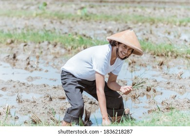Asian farmers bend over wearing hats when planting rice in the fields