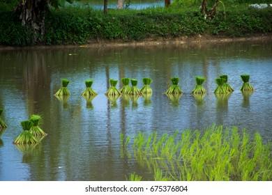 Asian farmers farm rice in Thailand