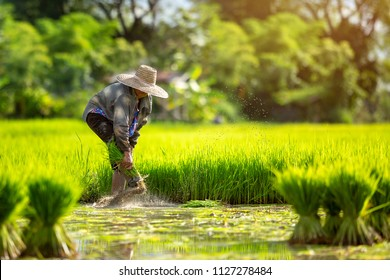 Asian farmers grow rice in the rainy season. They were soaked with water and mud to be prepared for planting. Farmer in thailand.