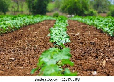 Asian  farming, cotton field, cotton plants