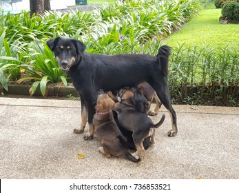 The asian female dog feeding her children (puppy dogs) on the brown sandy concrete way near the green garden , this picture is from Bangkok, Thailand. Front View.
