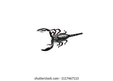 Asian Forest Scorpion isolated on white. Heterometrus petersii.