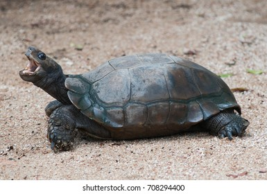 The Asian forest tortoise (Manouria emys) opened its mouth