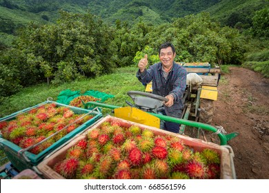 Asian fruit growers keep rambutan from their trees, which at this time are filled with red fruits in Thailand.