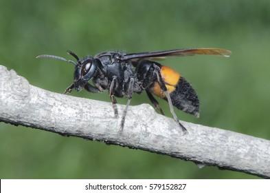 Asian Giant Hornet.