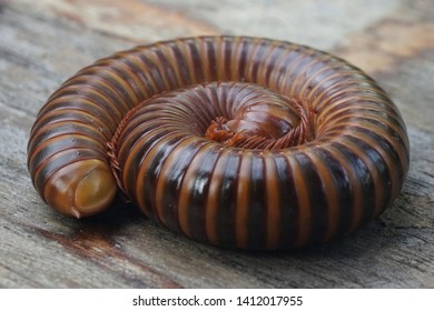 Asian giant millipede, Round-backed, Millipede, millipede curled up on the ground