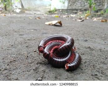 Asian giant millipede, round-backed millipede, Thyropygus sp., Harpagophoridae curled up in habitat.