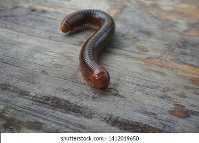Asian giant millipede walk on the ground