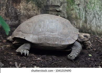 Asian giant tortoise (Manouria emys emys), also known as the Southern brown tortoise.