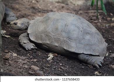 Asian giant tortoise (Manouria emys emys), also known as the Southern brown tortoise.