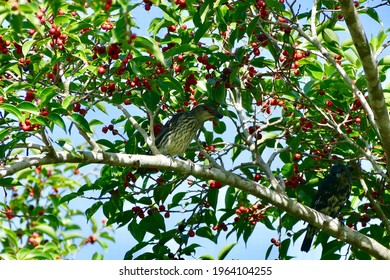 Asian Glossy Starling bird enjoy eating fruit of banyan tree (food of birds and various animals in tropical rainforest) in nature in Thailand