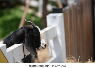 Asian Goat Images, Stock Photos & Vectors | Shutterstock